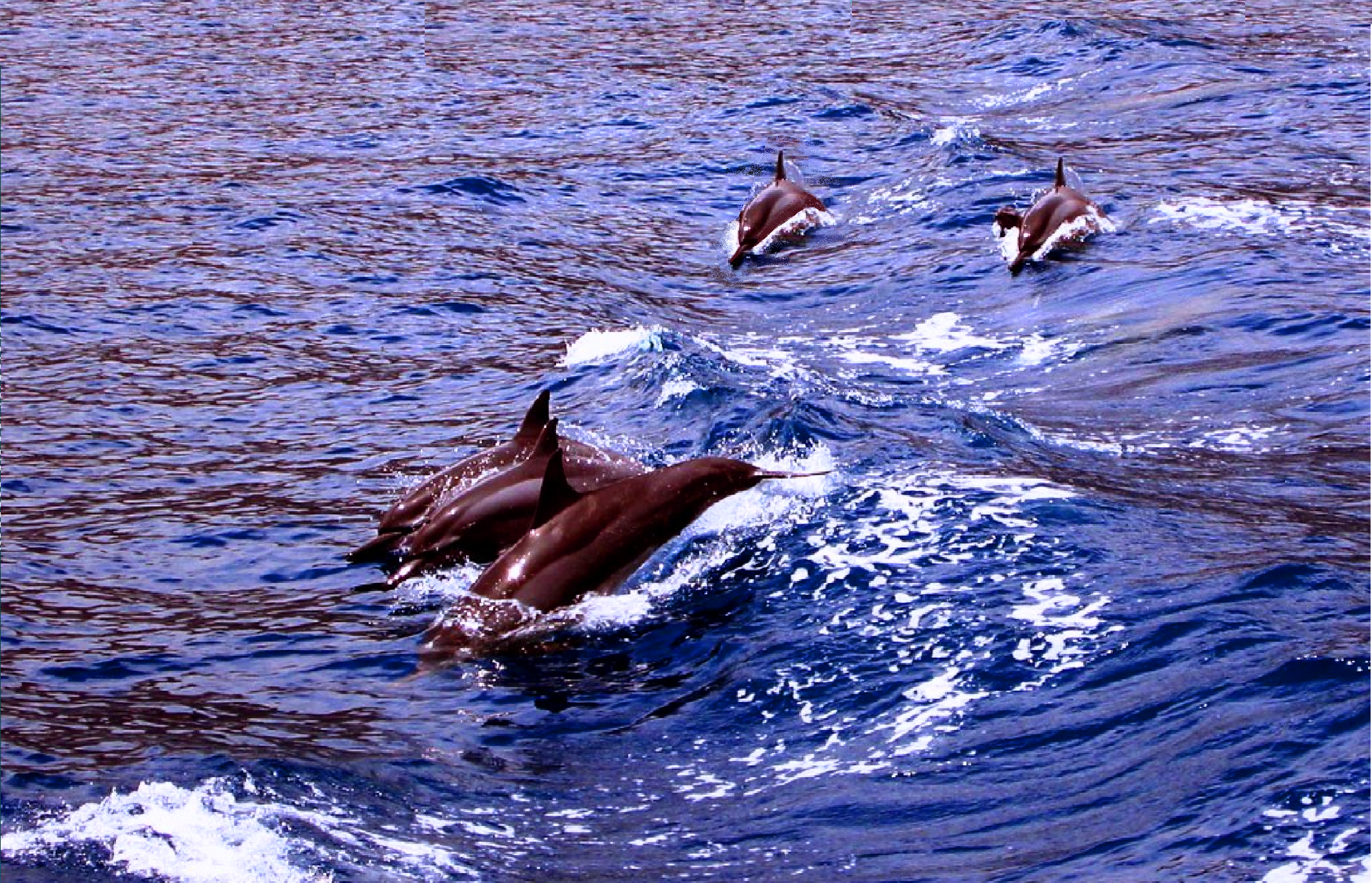 Dolphins_in_Ambracian_Gulf,_Preveza_(2005)