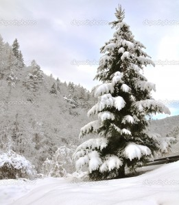 lone pine tree covered with snow, on a gentle slope
